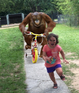 Orangutan Chasing Girl On A Tricycle