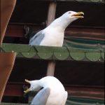 Inhaling Seagull